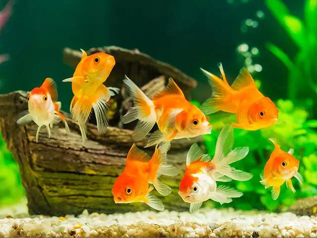 Aquarium Goldfish Pinanius Pet Fish Evolution